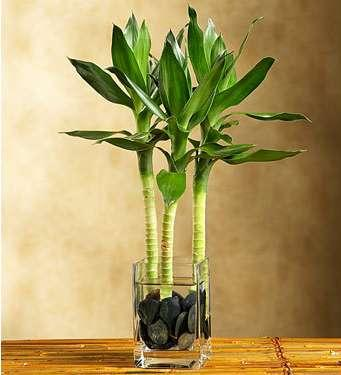 Growing Bamboo Indoors | Bamboo Growing on transplanting bamboo plant, care bamboo plant, feeding bamboo plant, watering garden, grass bamboo plant, rooting bamboo plant, watering house plants, water bamboo plant, repotting bamboo plant, pruning bamboo plant,
